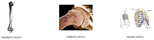видове кости