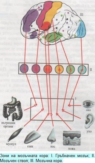 зони на мозъчната кора