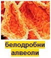 белодробни алвеоли