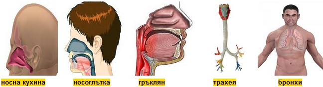 органи на дишането