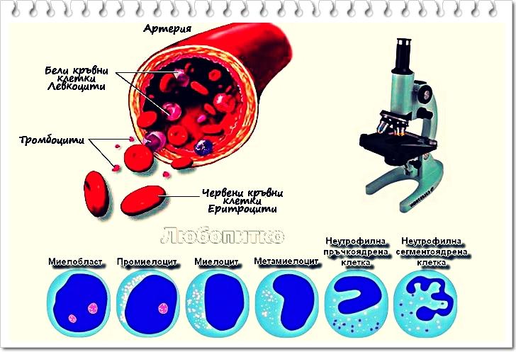 Образуване на кръвта