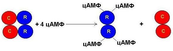 алостерични ензими