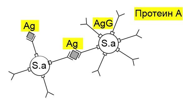 протеин А