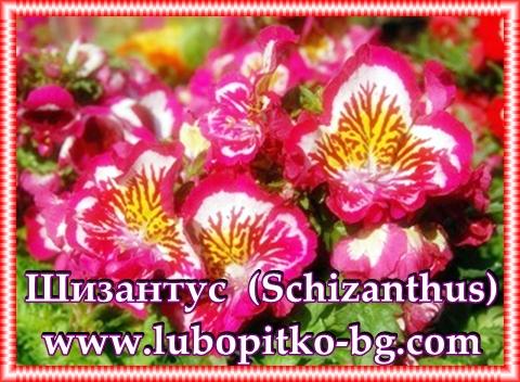 шизантус