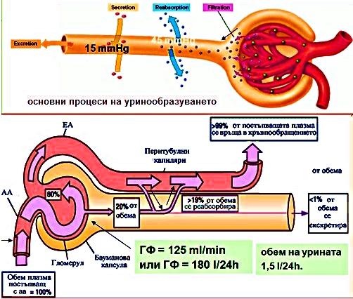 урина и урионообразуване